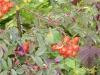Heilpflanzengarten Celle - Heiltees