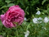 rosen-Garten 201320130623_3610