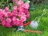 rosen-Symbolfoto-Gartenpflege-Hancke